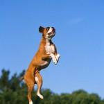 Bóxer saltando
