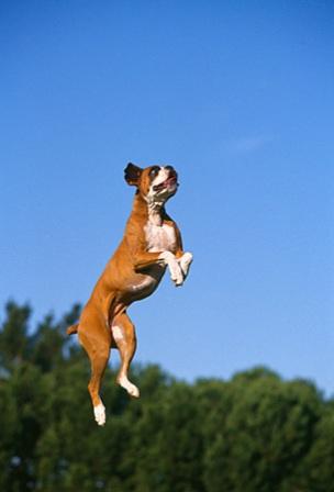 boxer saltando
