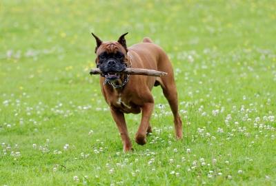 boxer corriendo